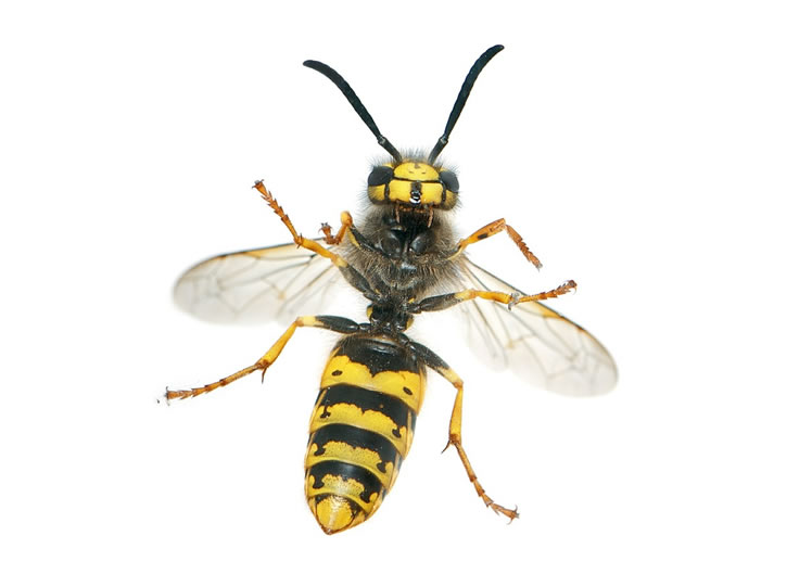 Wasp Control Irlam 24/7, same day service, fixed price no extra!