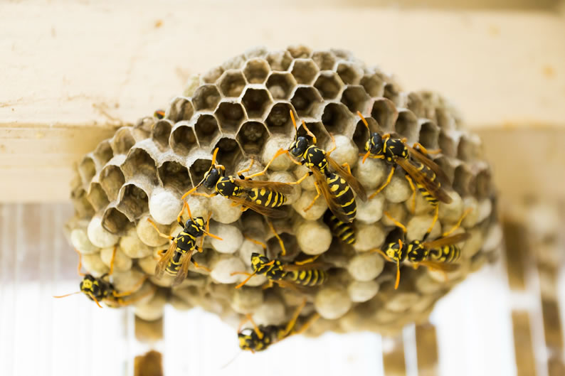 Wasp Control Irlam - Wasp nest treatment 24/7, same day service, covering Irlam, Irlam and cheshire, fixed price no hidden extras!